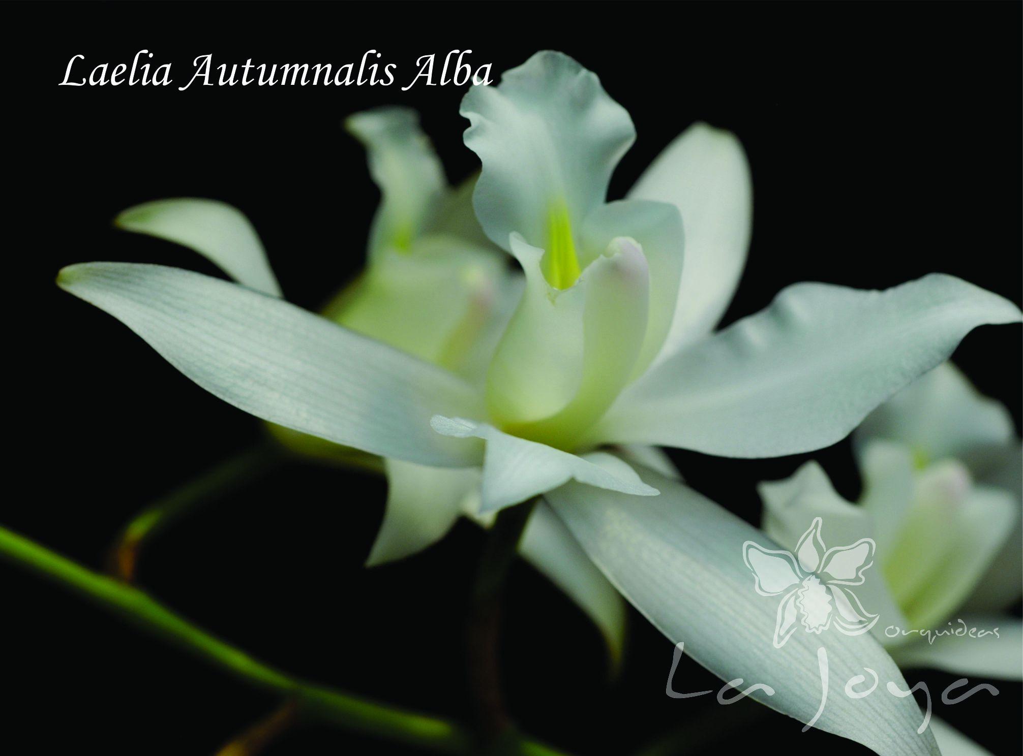 Laelia Autumnalis Alba