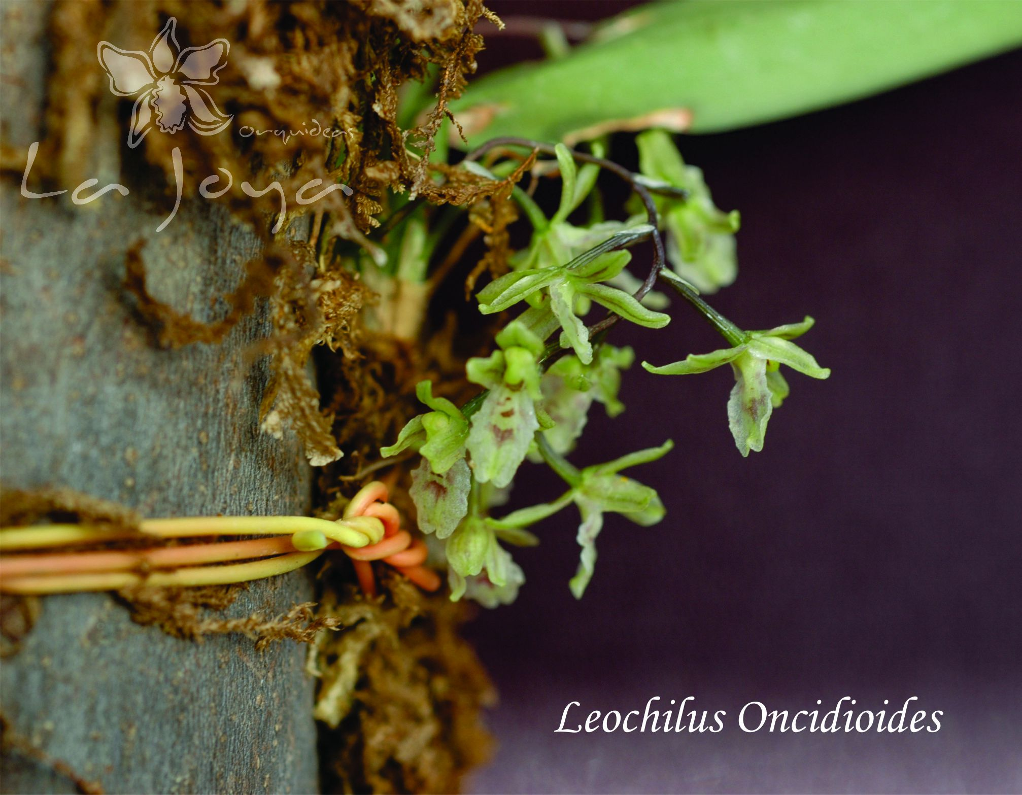 Leochilus Oncidioides
