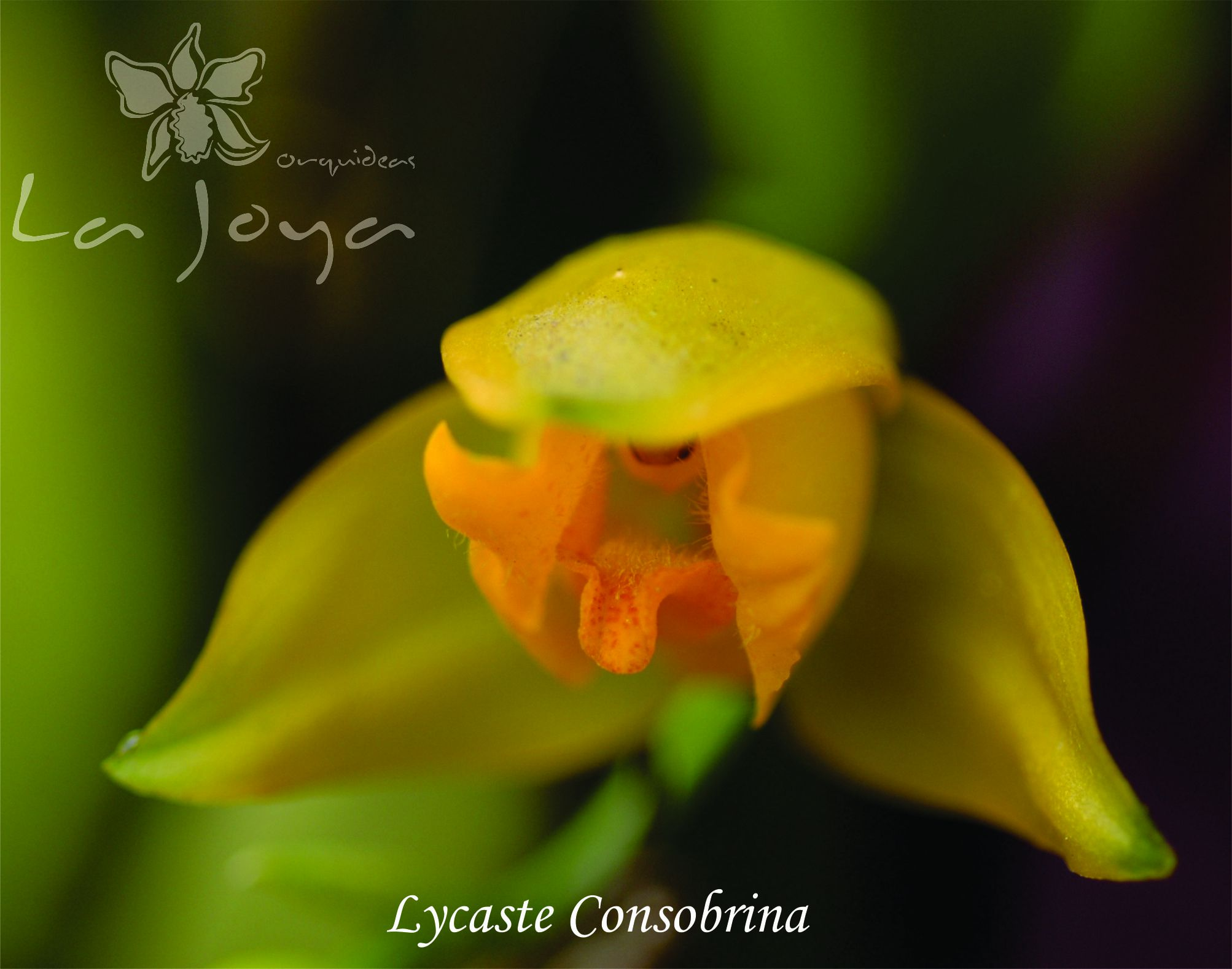 Lycaste Consobrina