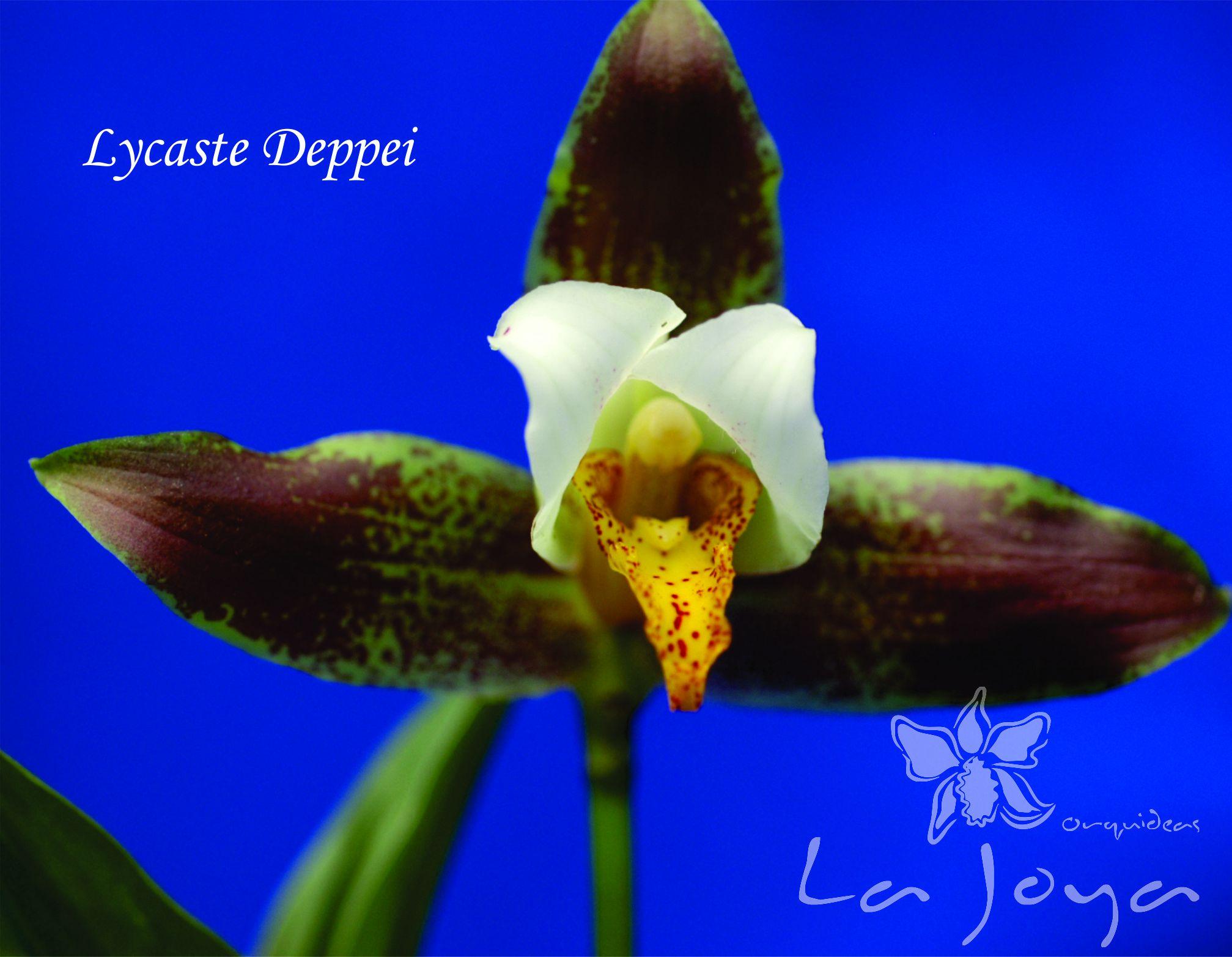 Lycaste Deppei