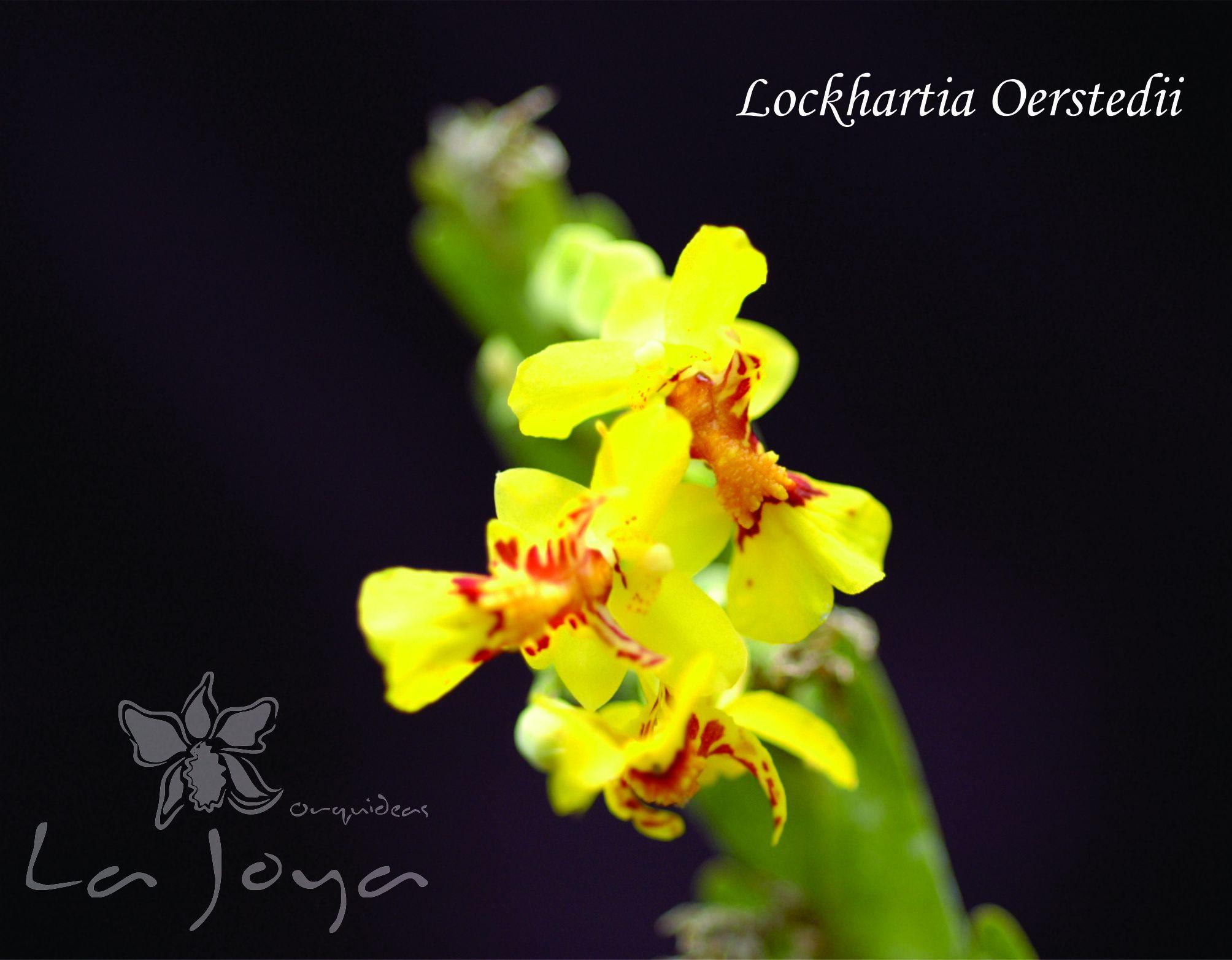 Lockhartia Oerstedii