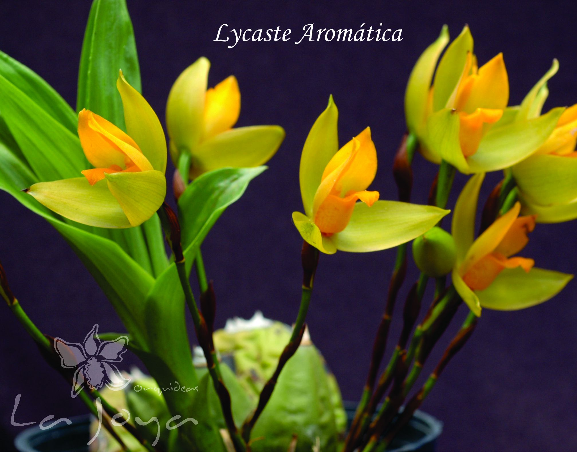 Lycaste Aromatico