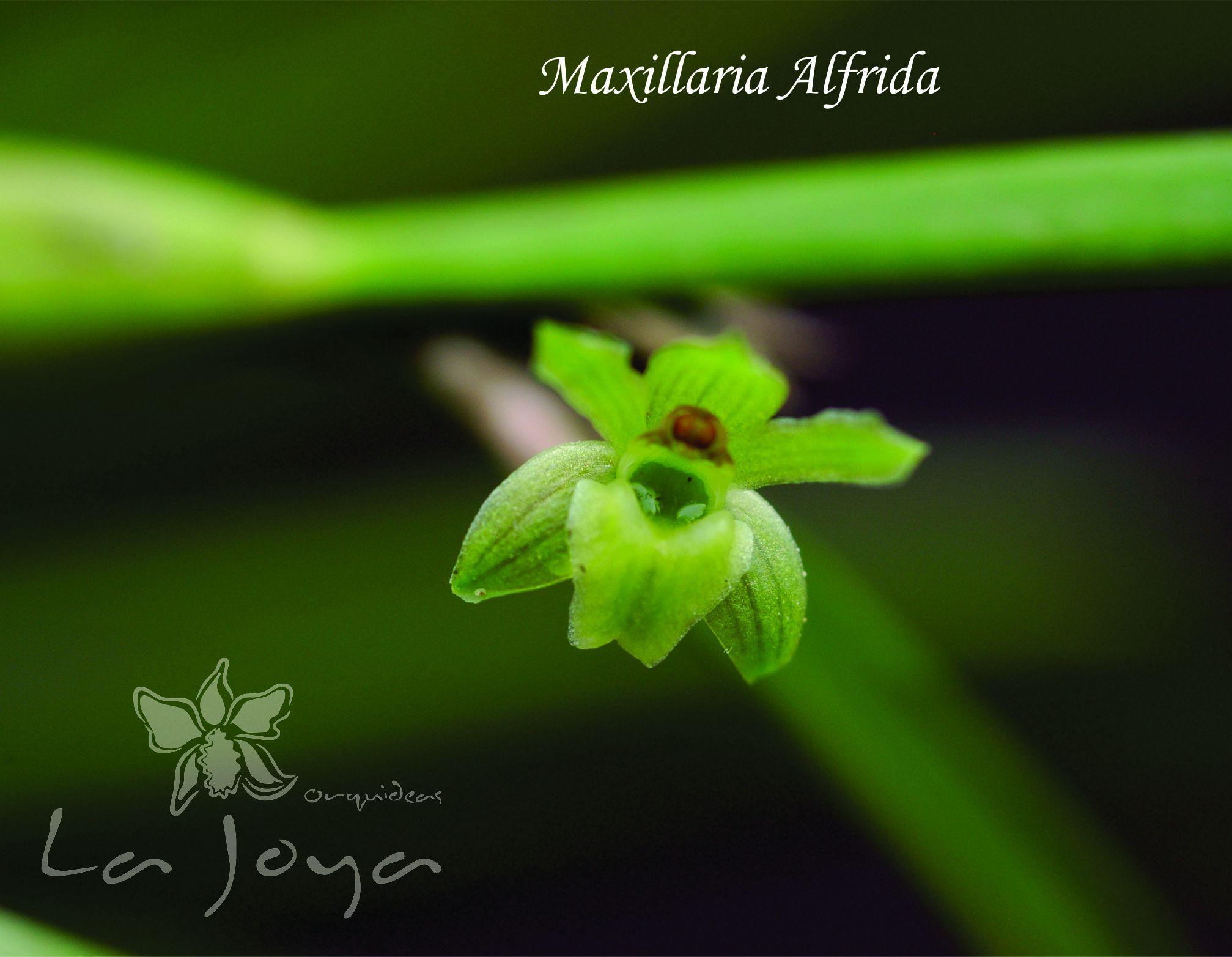 Maxillaria Alfrida