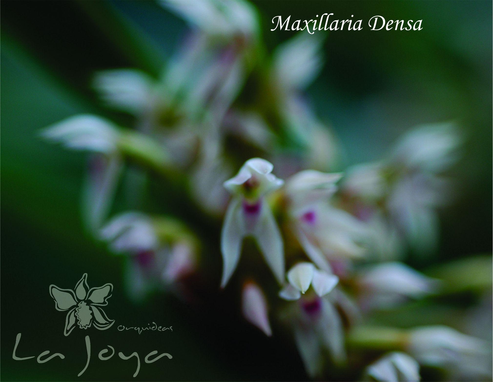 Maxillaria Densa