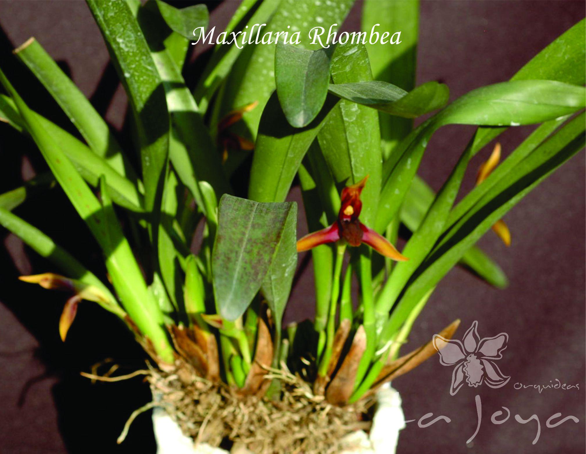 Maxillaria Rhombea
