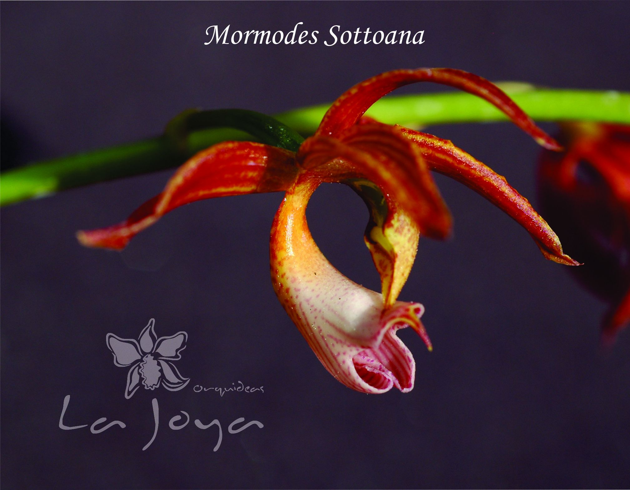 Mormodes Sottoana