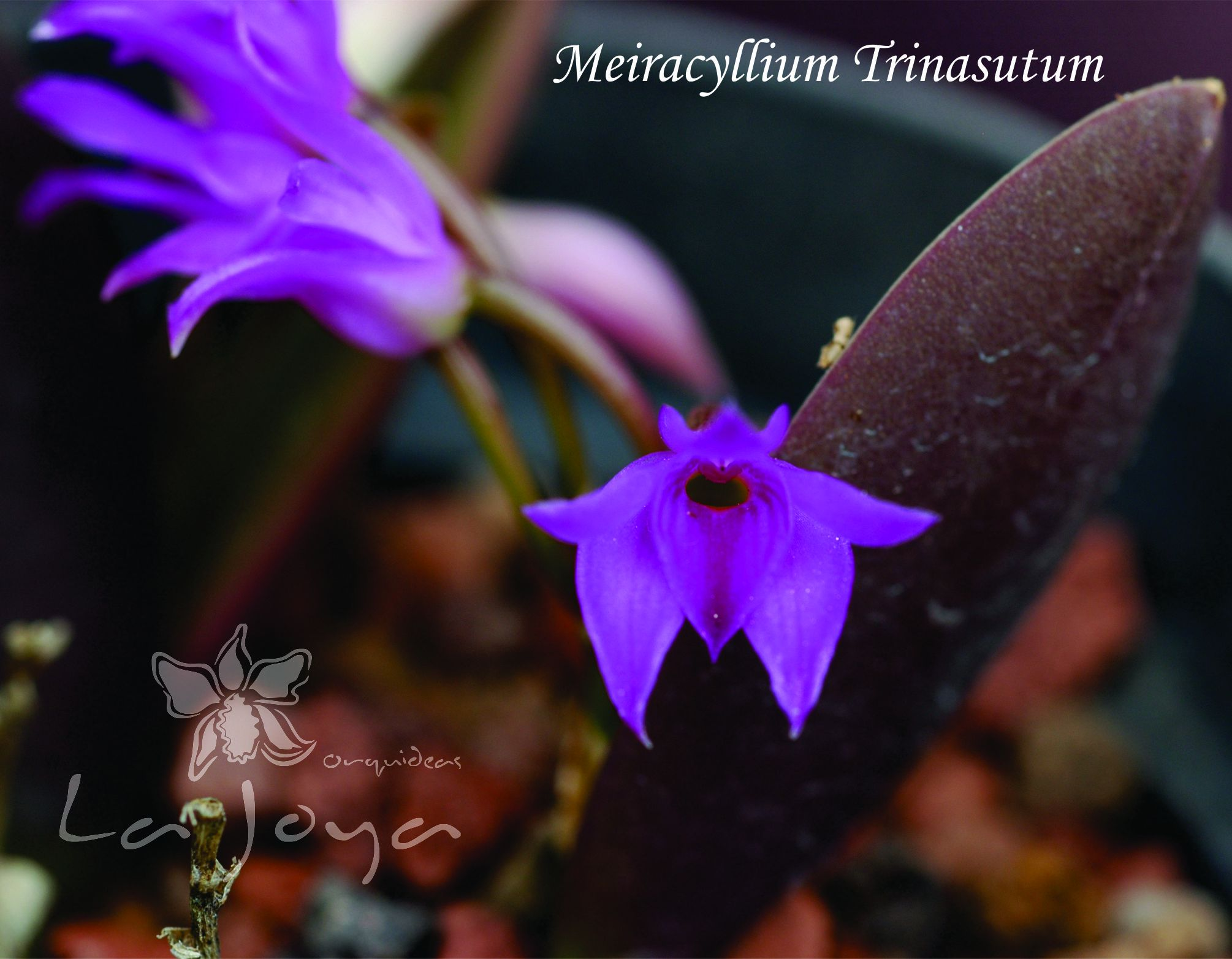 Meiracyllium  Trinasutum