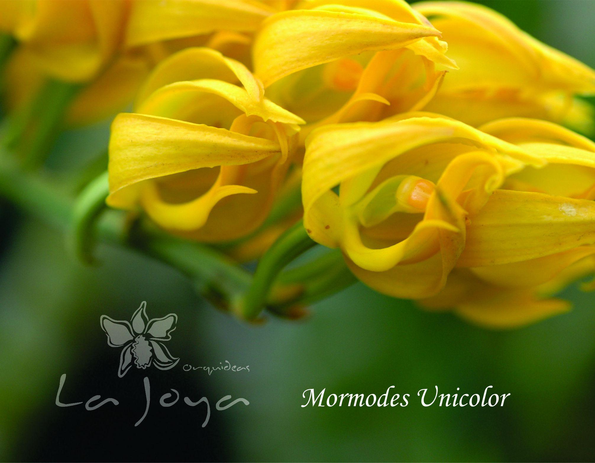 Mormodes Unicolor