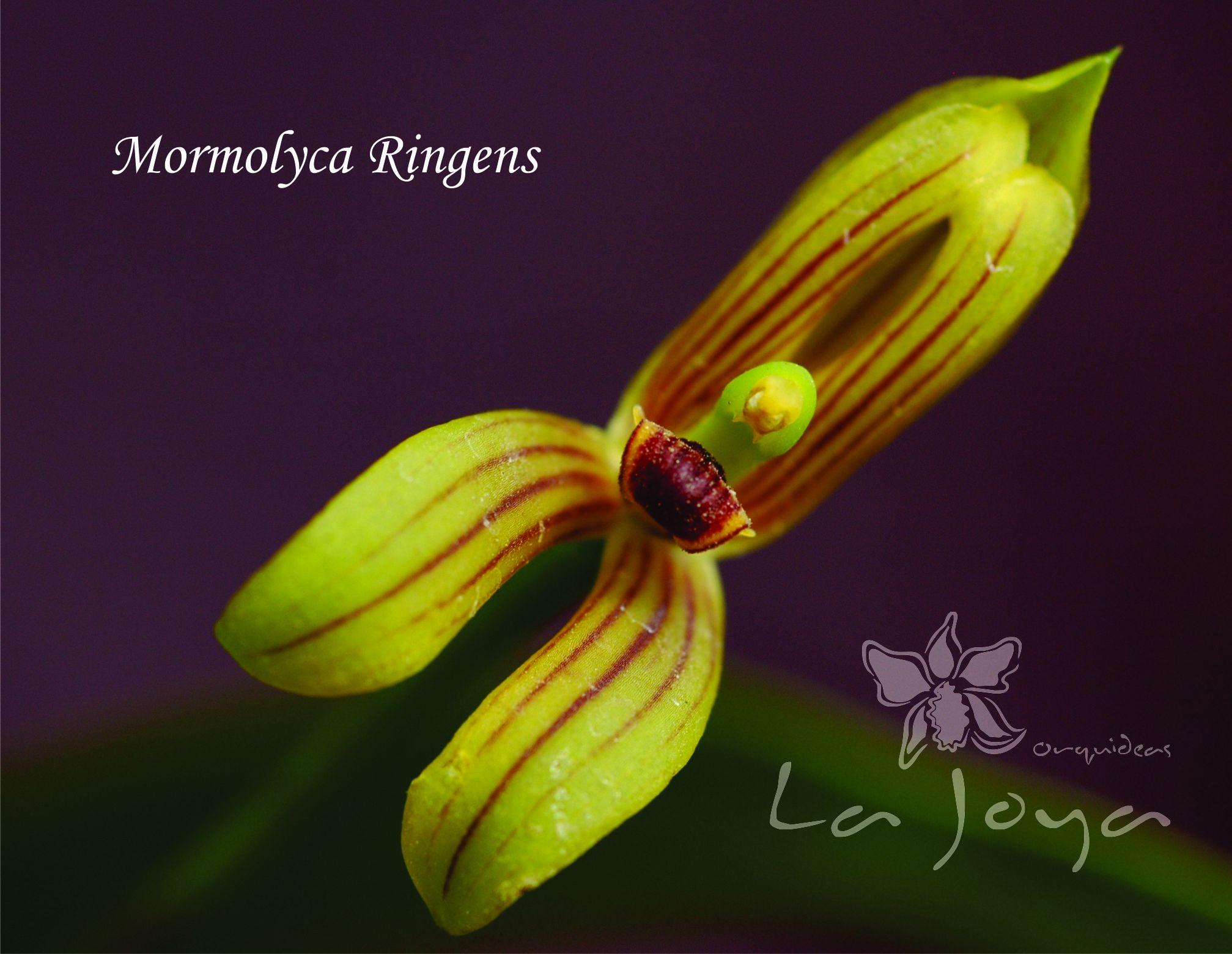 Mormolyca Ringens