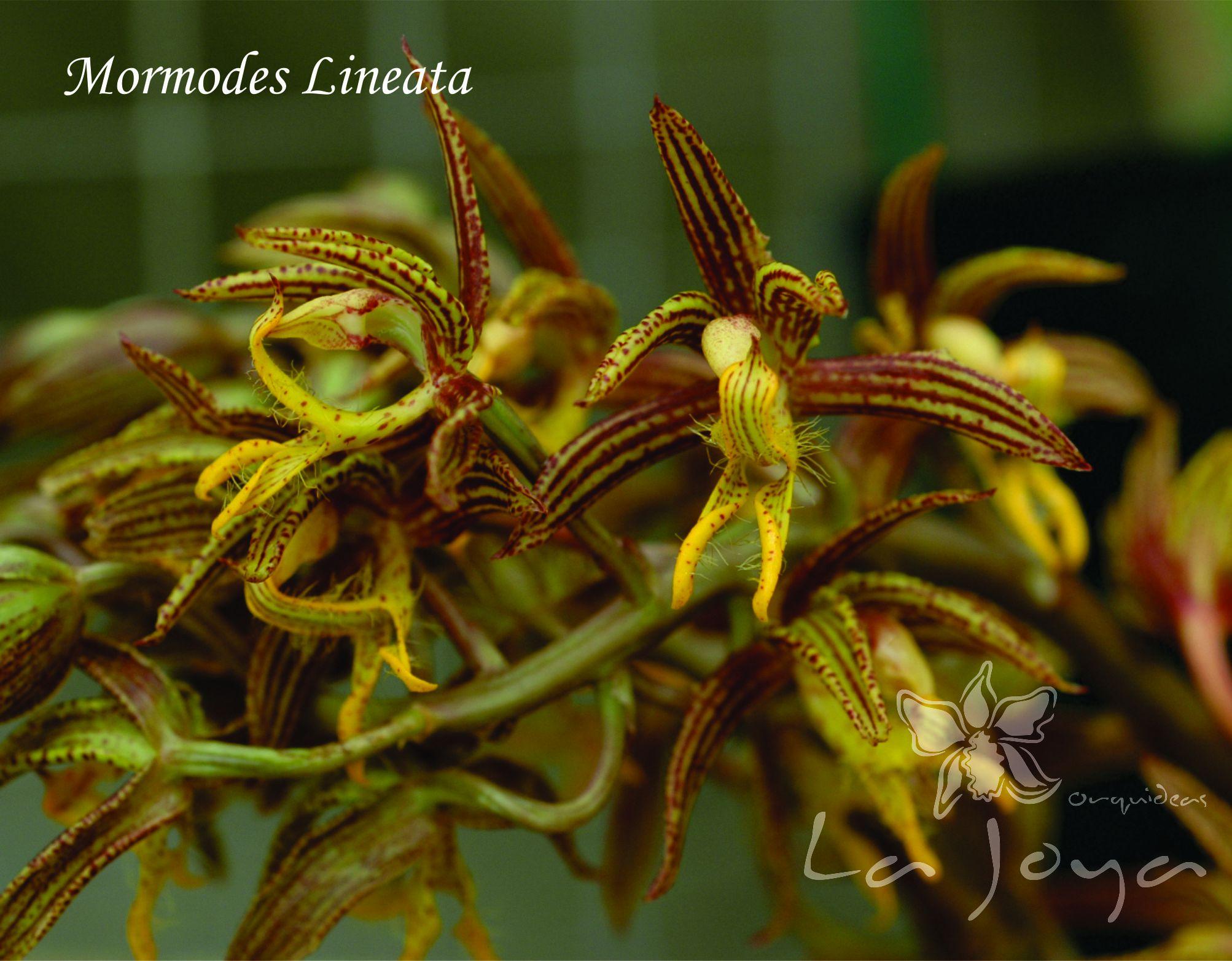 Mormodes Lineata