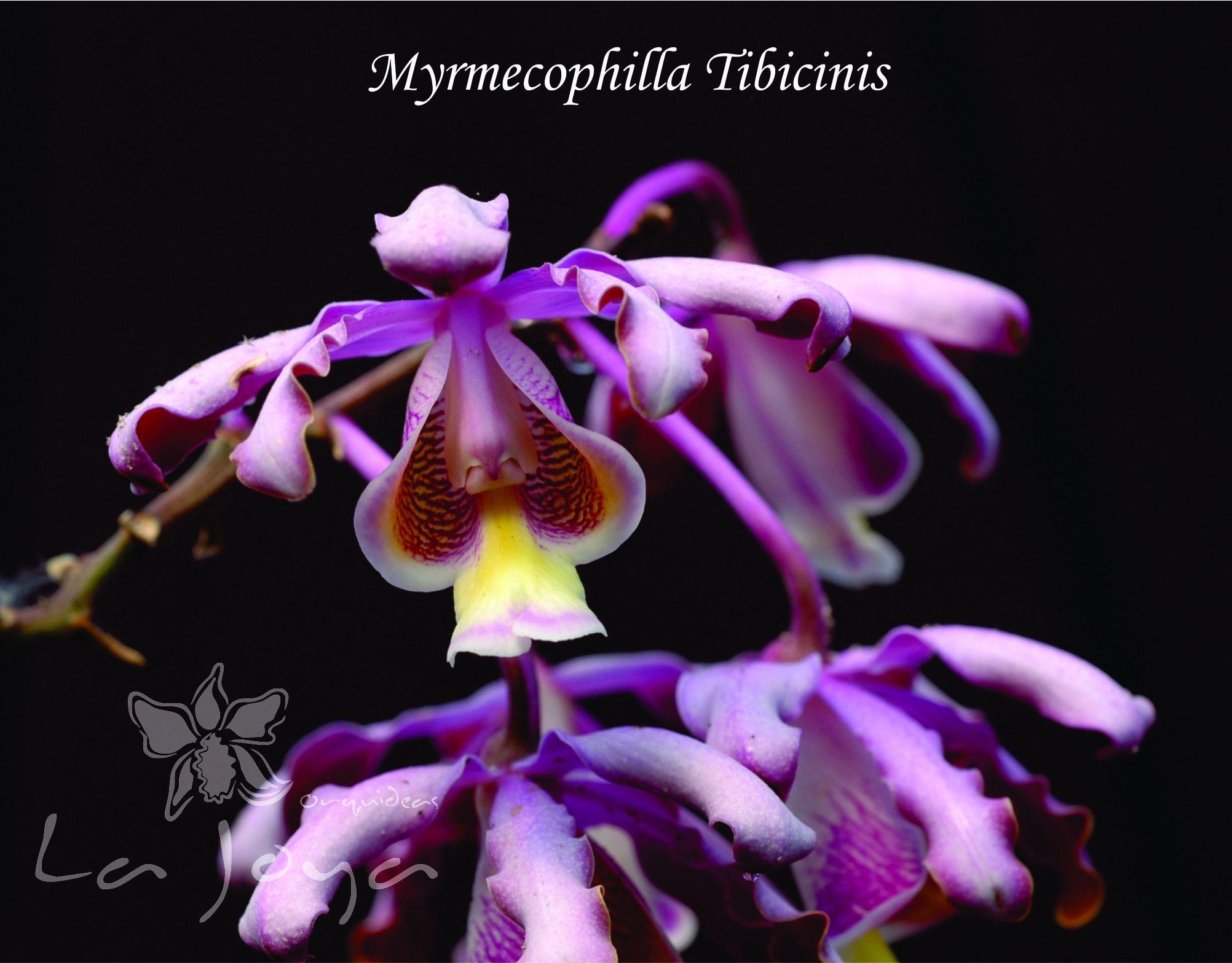 Myrmecophilla Tibicinis