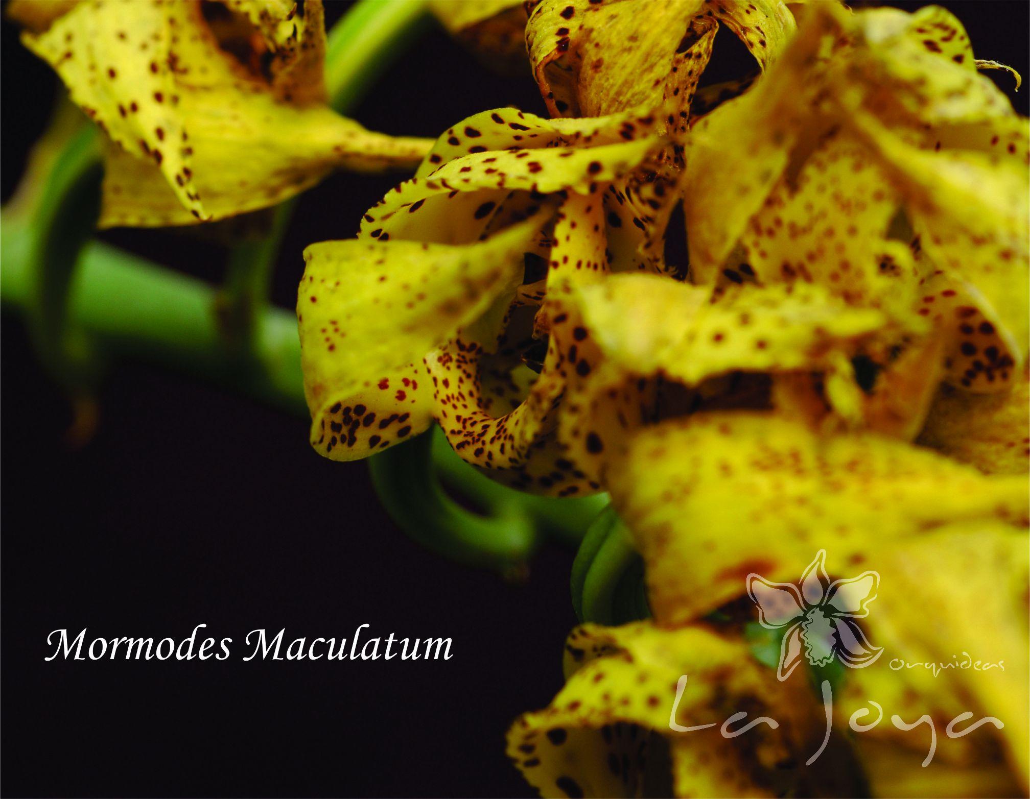 Mormodes Maculatum