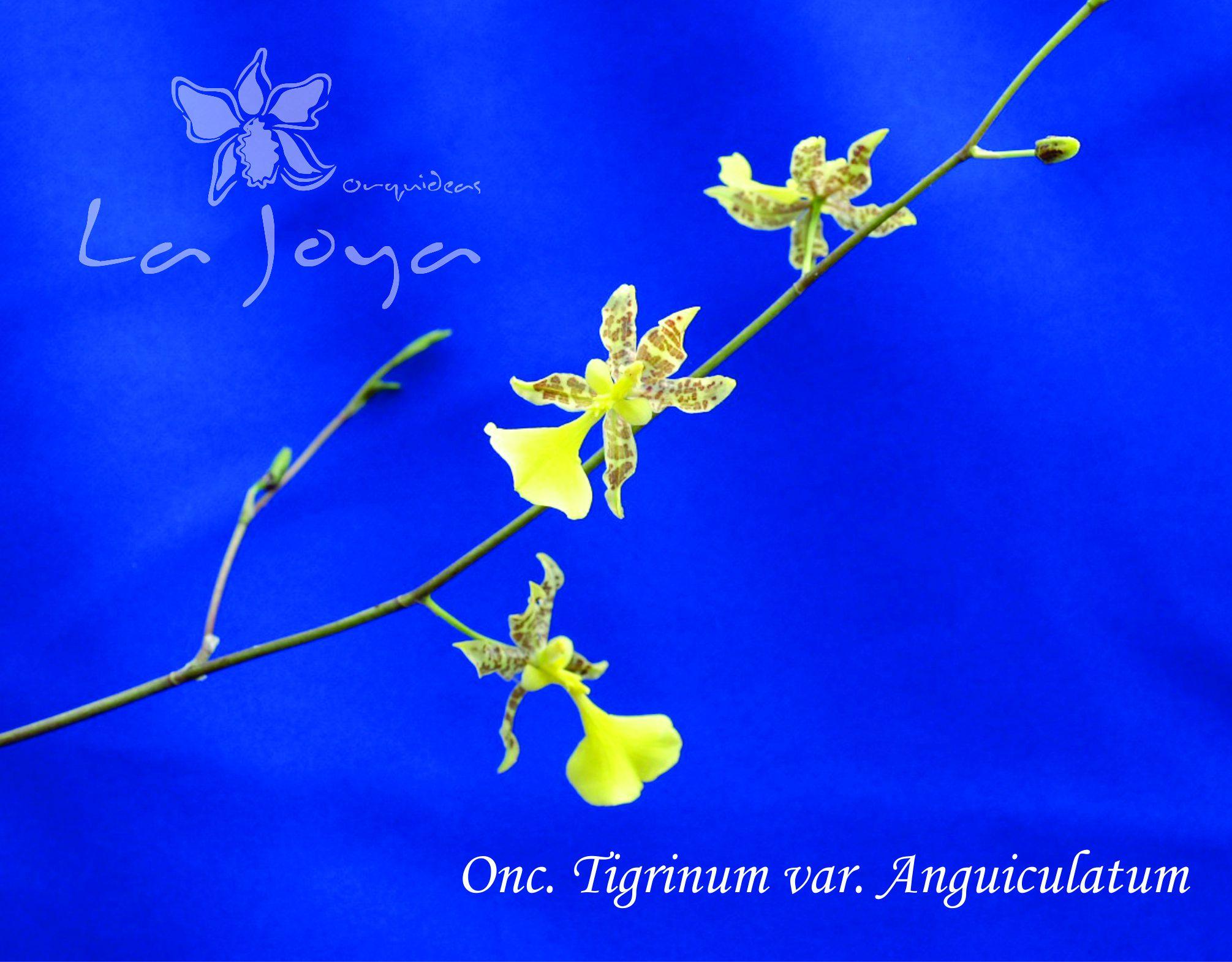 Oncidium Tigrinum Var. Anguiculatum