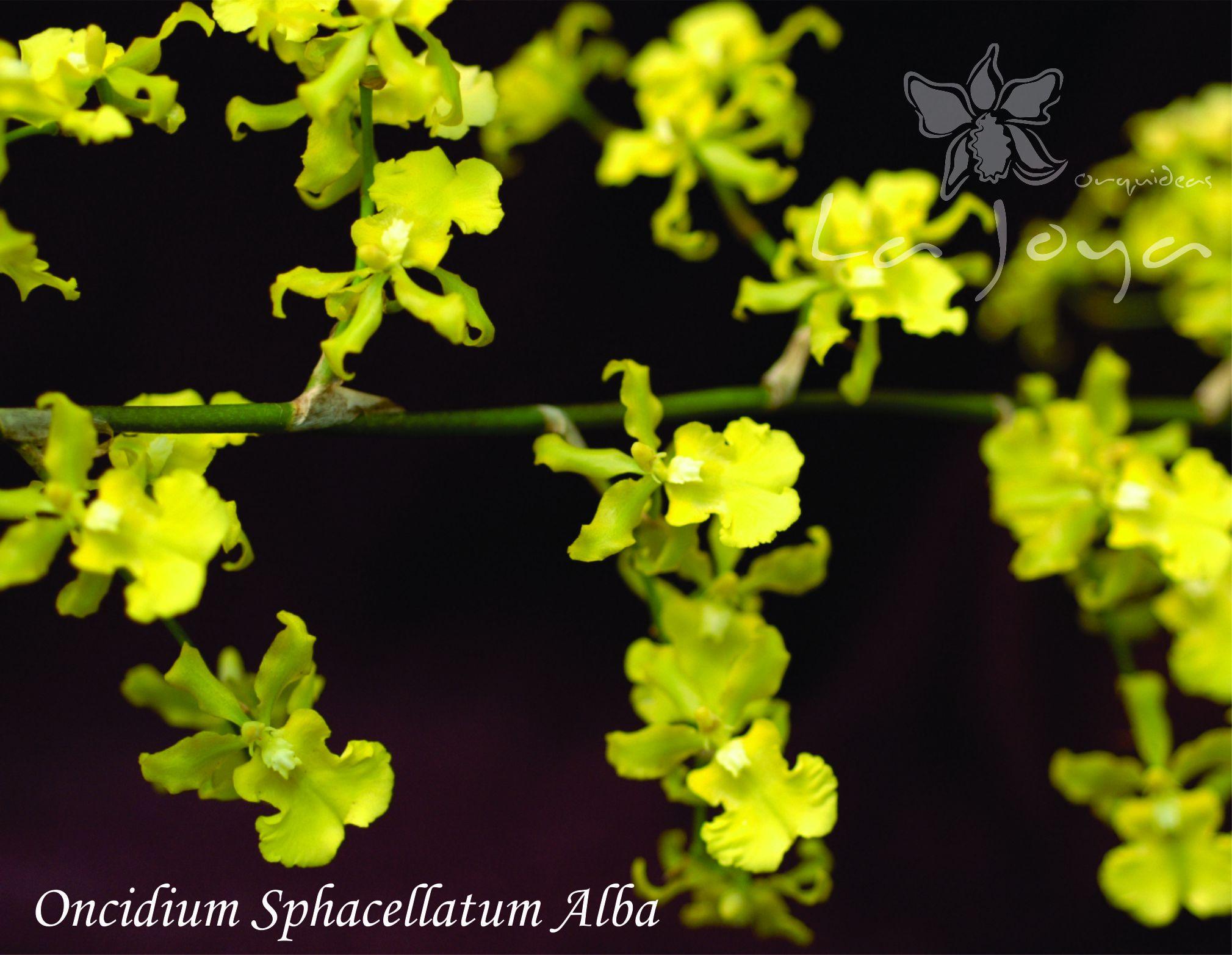 Oncidium Sphacellatum Alba