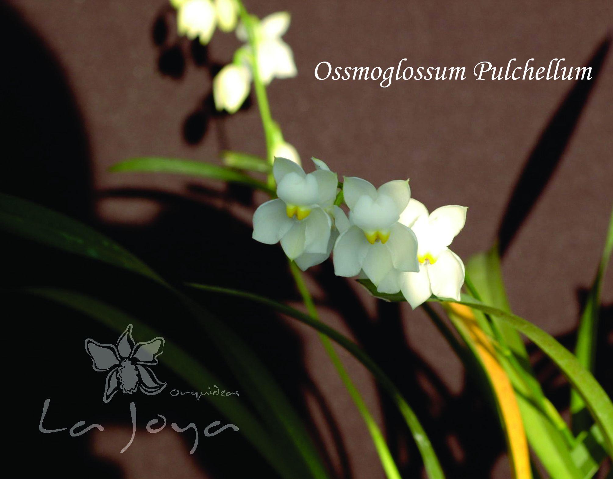 Oncidium Pulchellum