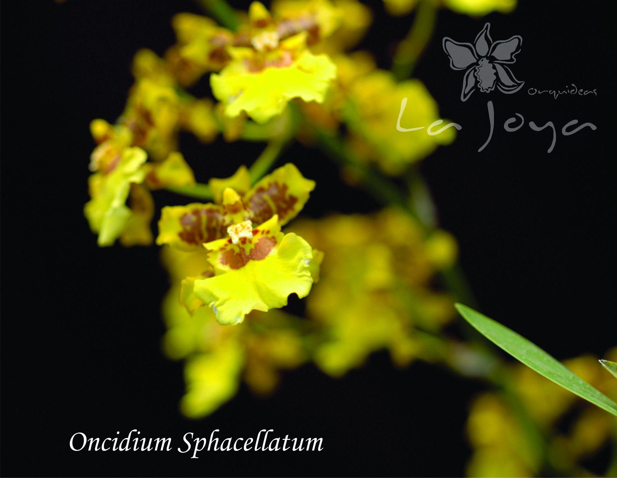Oncidium Sphacellatum