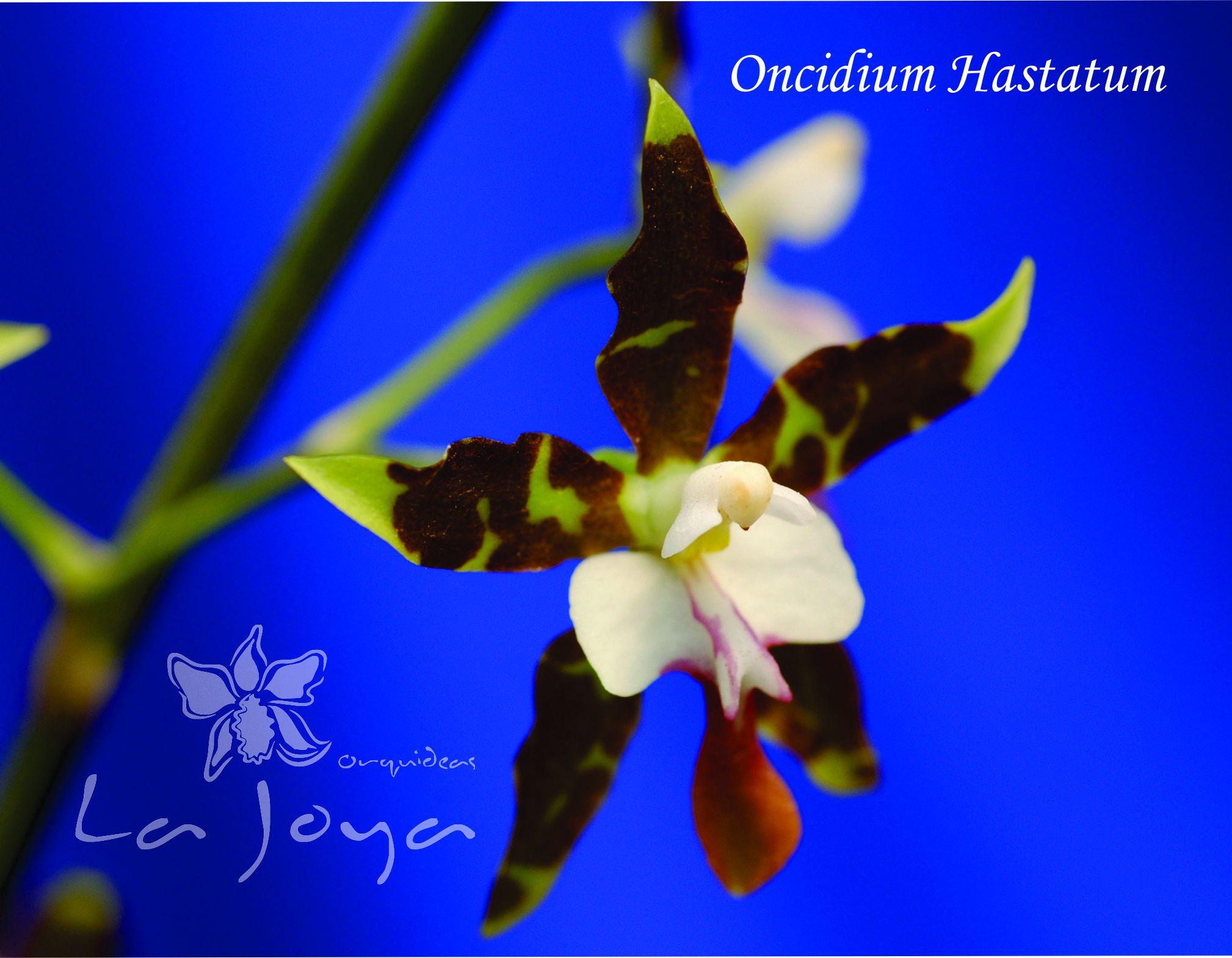 Oncidium Hastatum