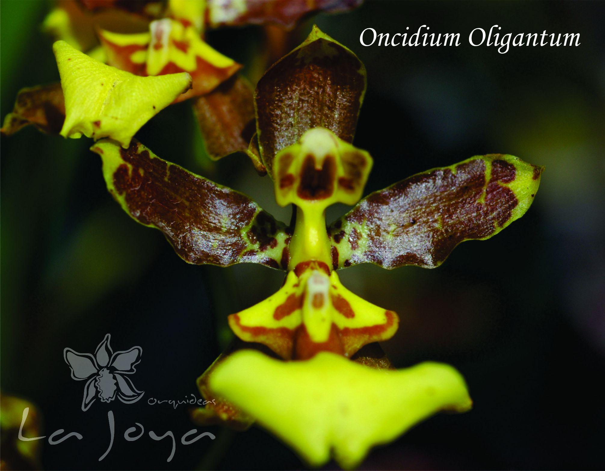 Oncidium Olingatum