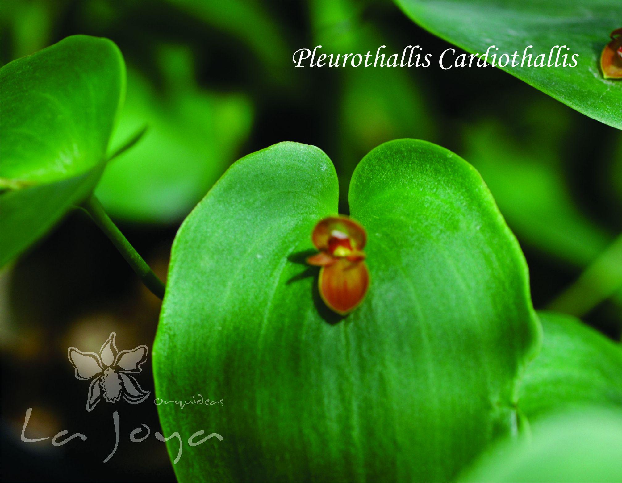 Pleurothallis Cardiothallis