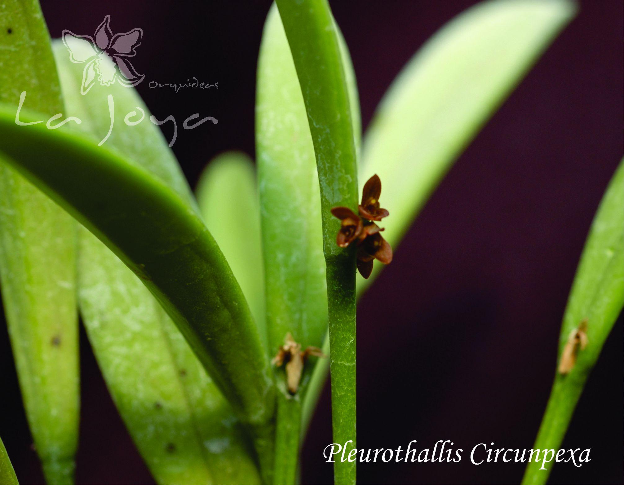 Pleurothallis Circunpexa