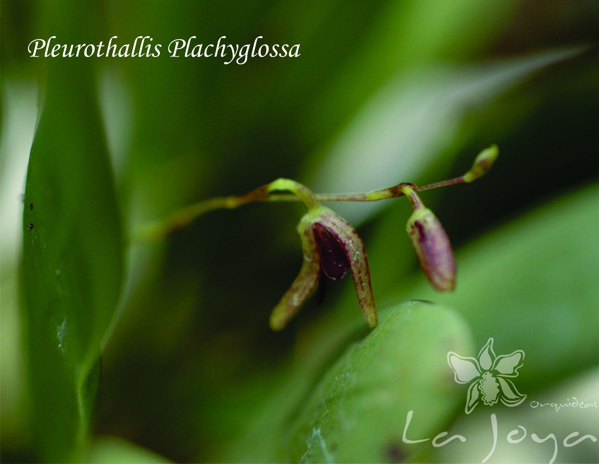 Pleurothallis Pachyglossa
