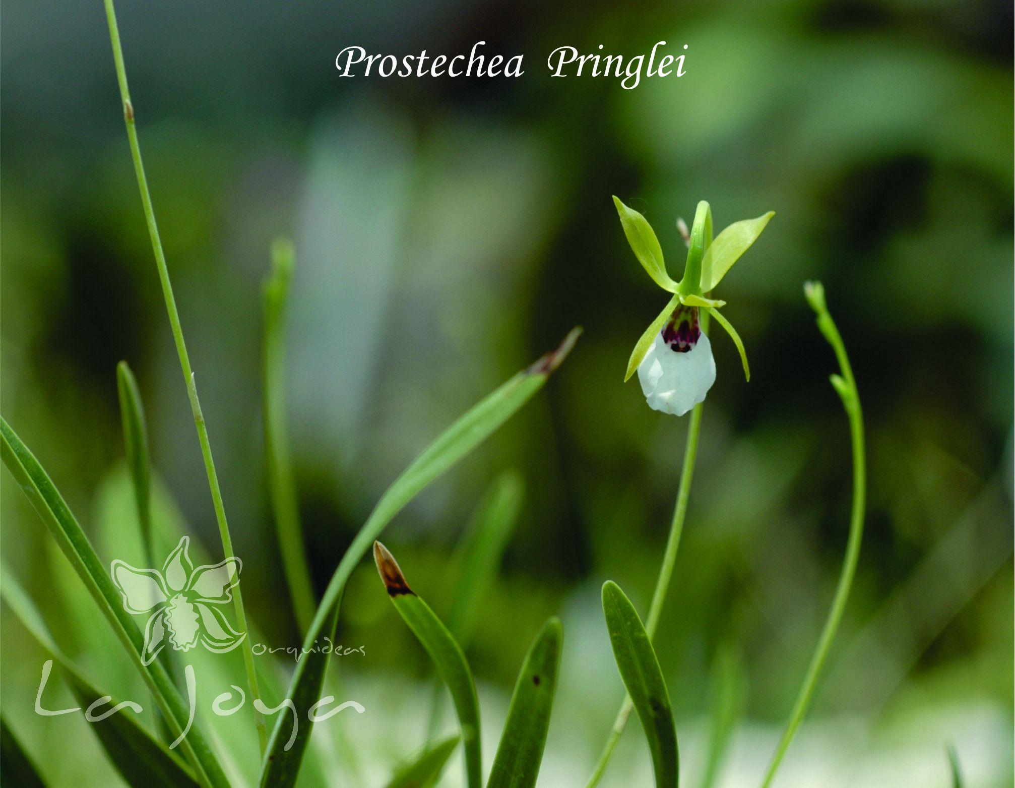 Prostechea Pringlei
