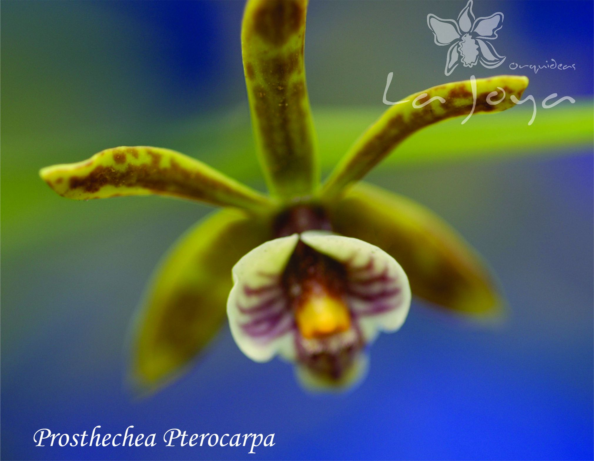 Prostechea Pterocarpa