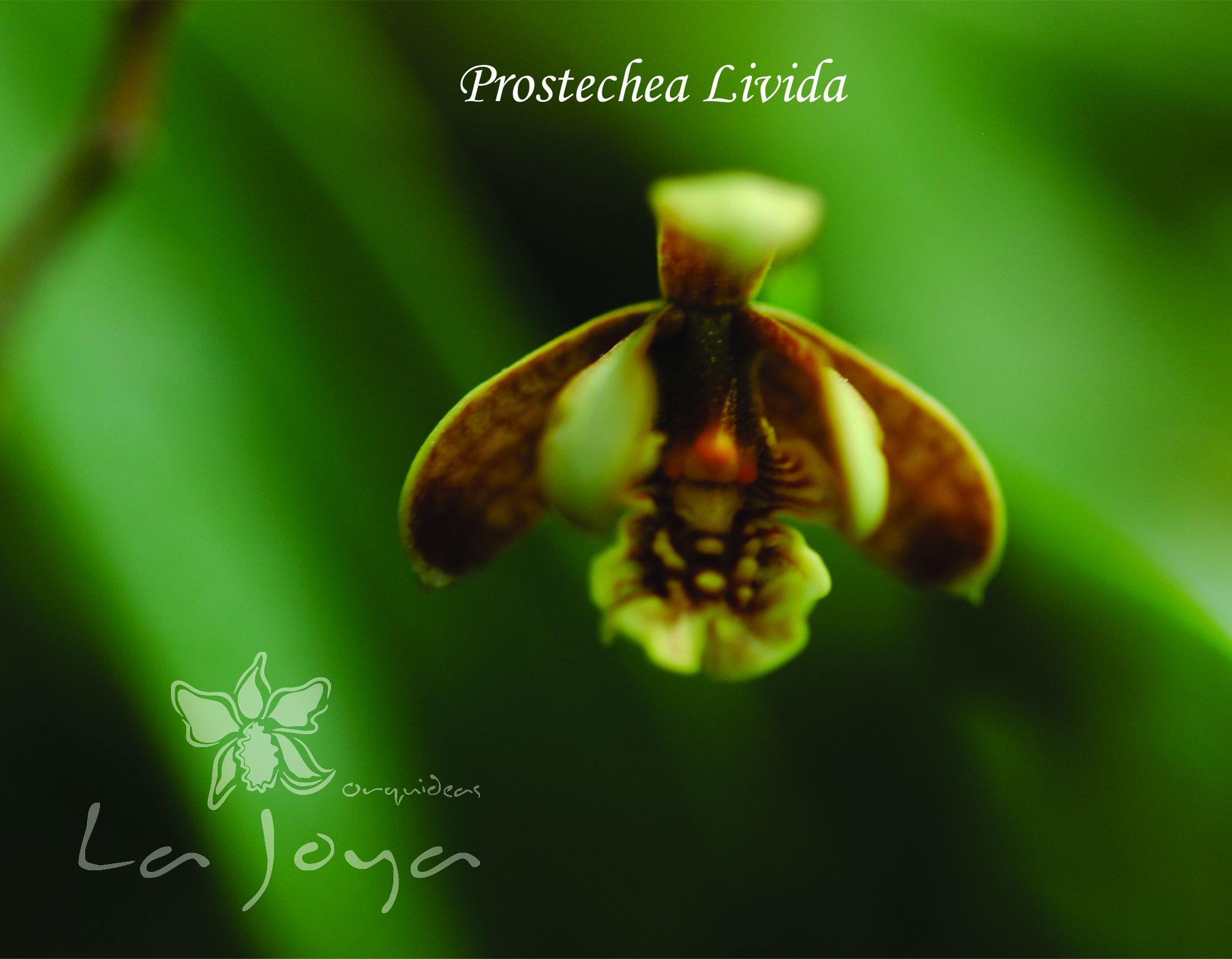Prostechea Livida