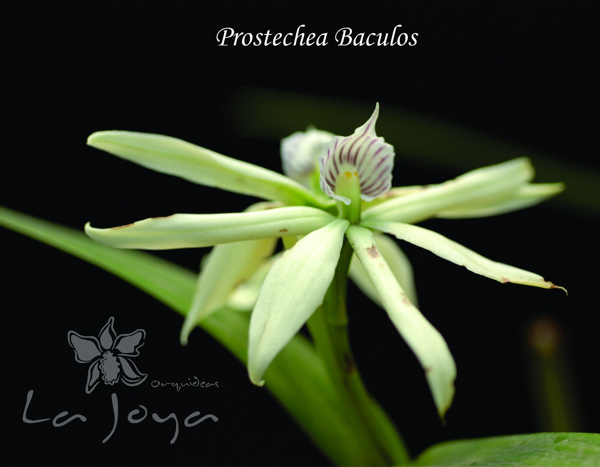 Prostechea Baculos
