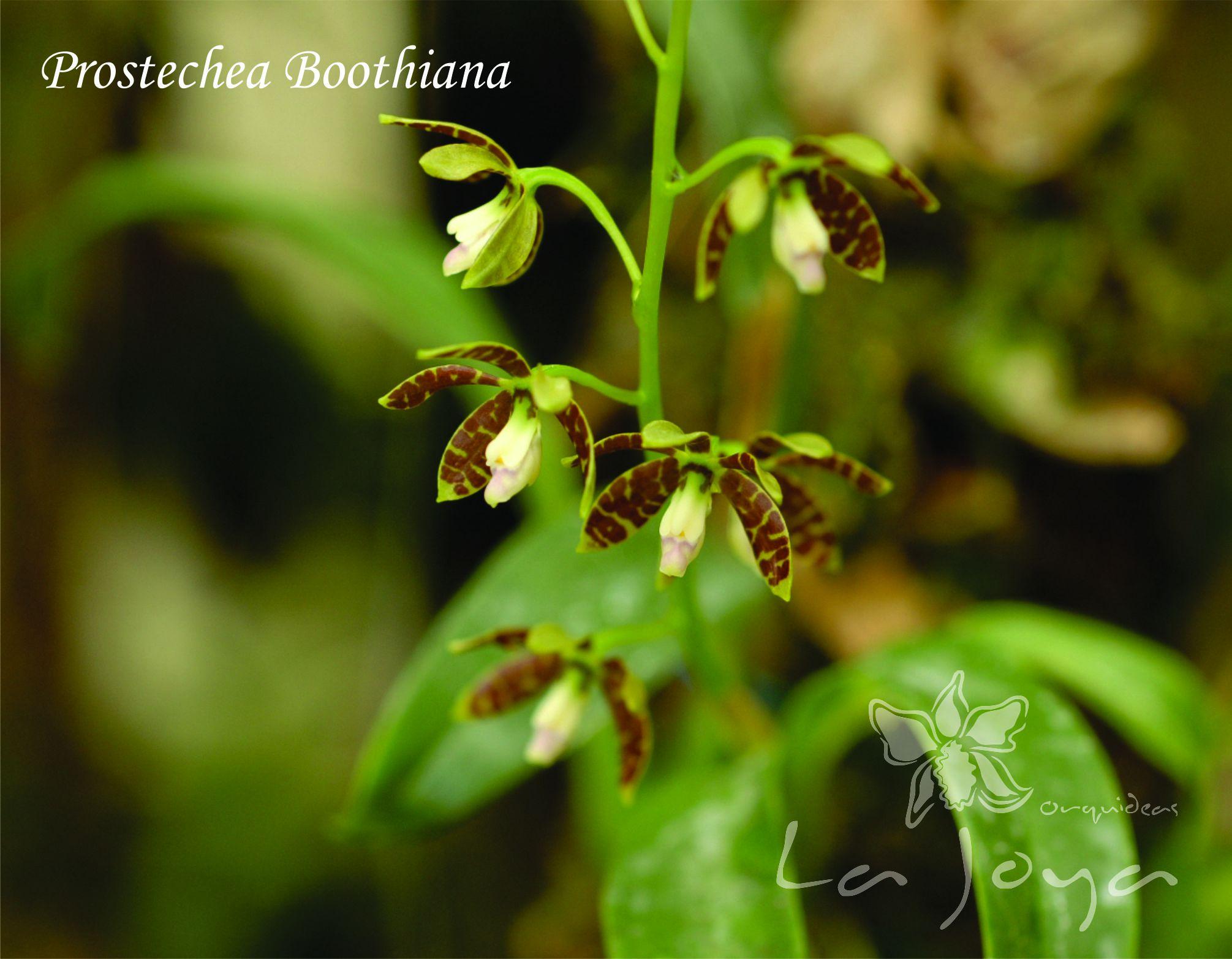Prostechea Boothiana