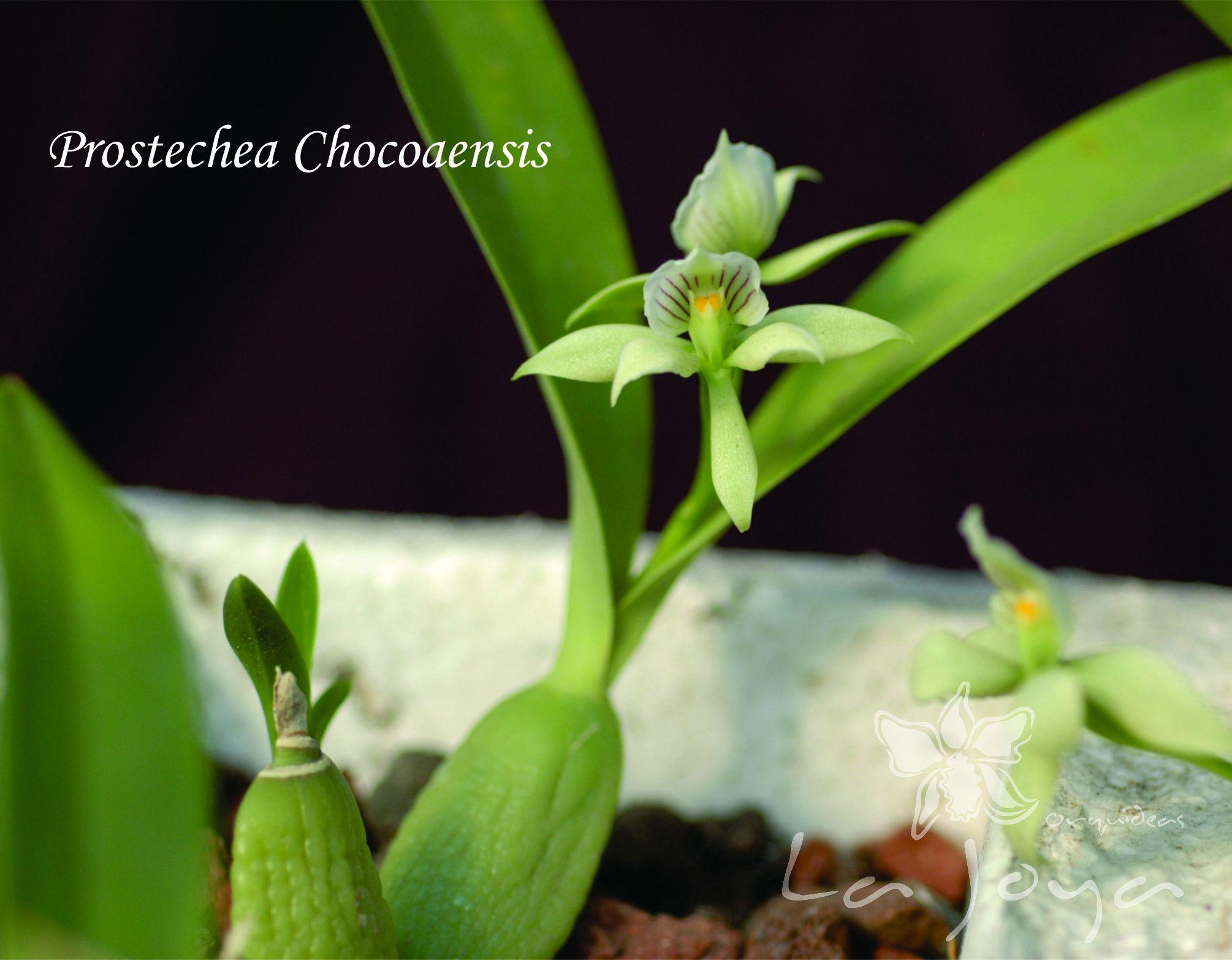 Prostechea Chocoaensis