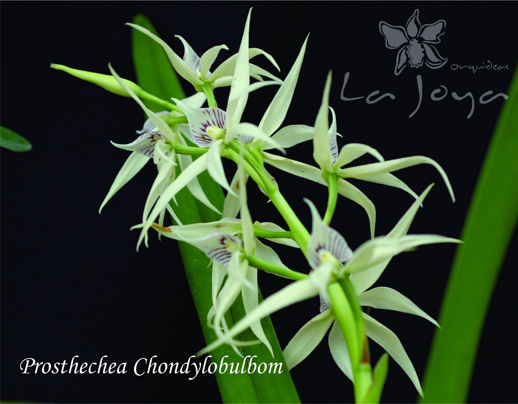 Prostechea Chondylobulbon