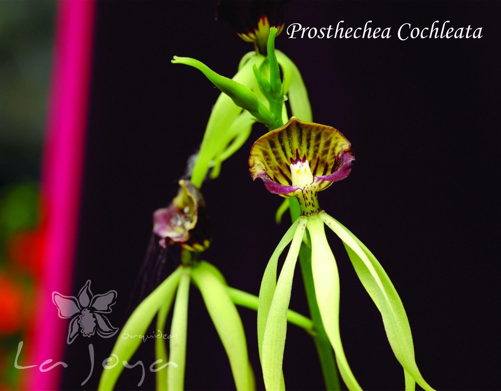 Prostechea Cochleata