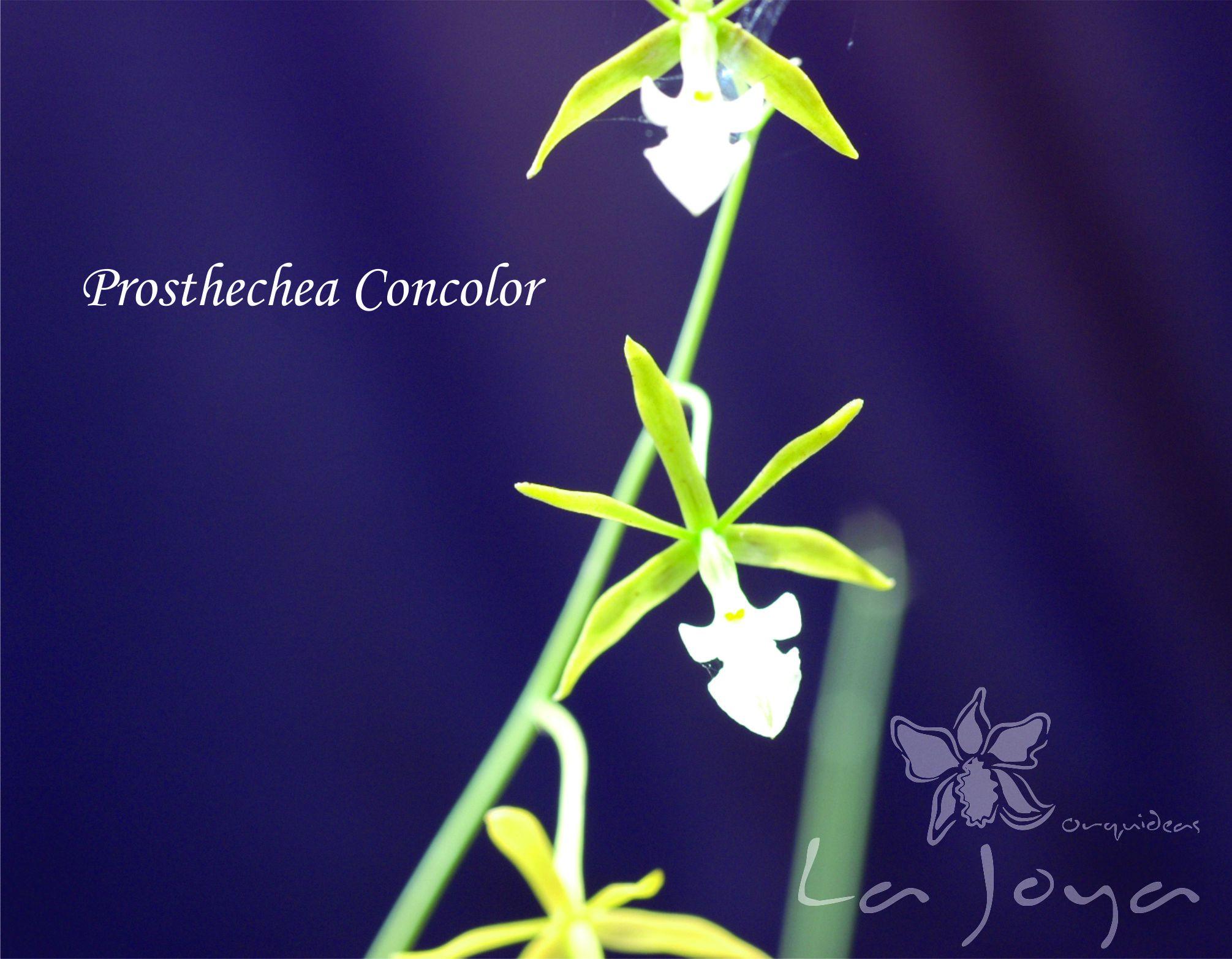 Prostechea Concolor