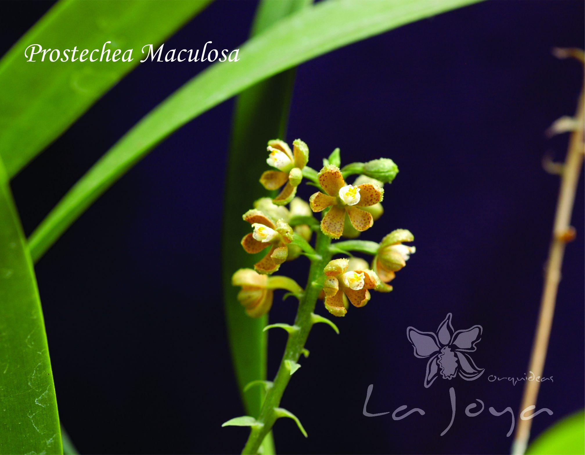 Prostechea Maculosa