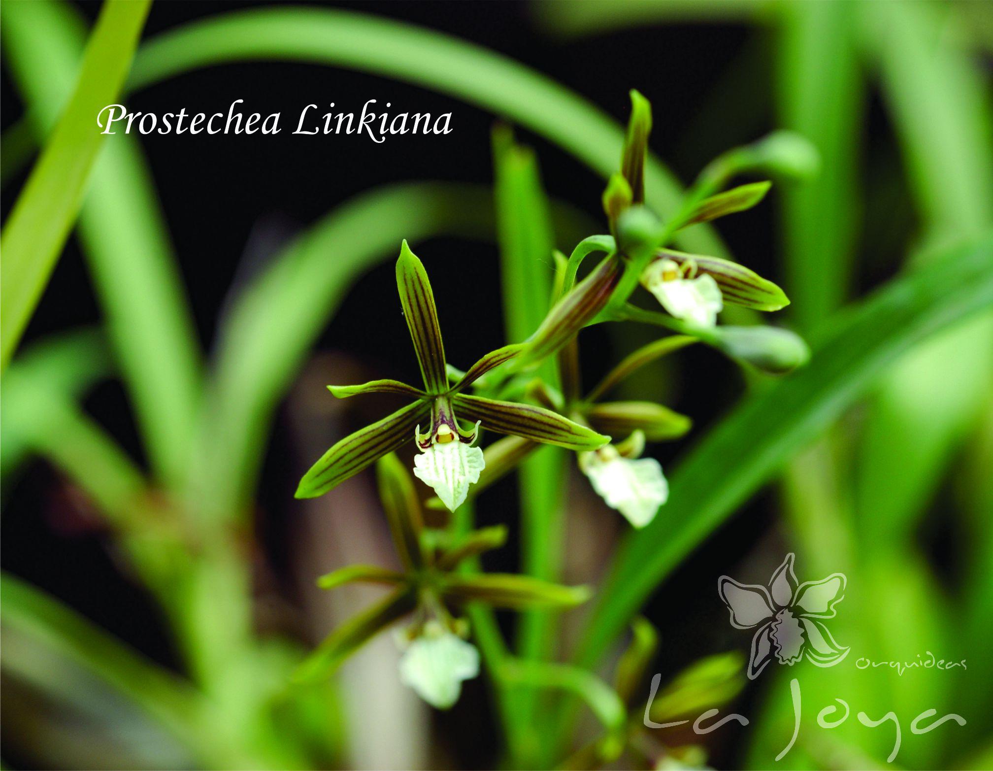 Prostechea Linkiana