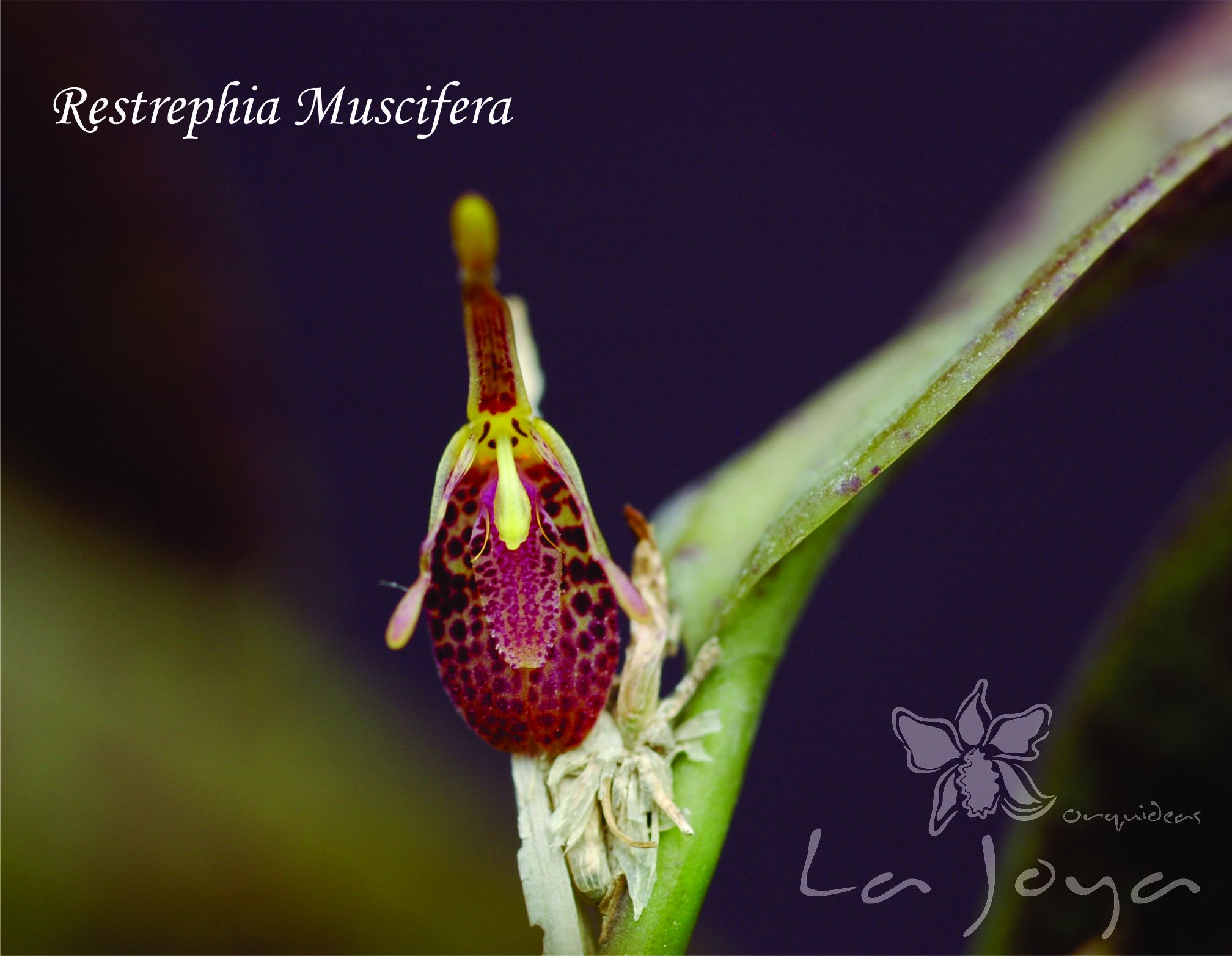 Restrephia Mucisfera