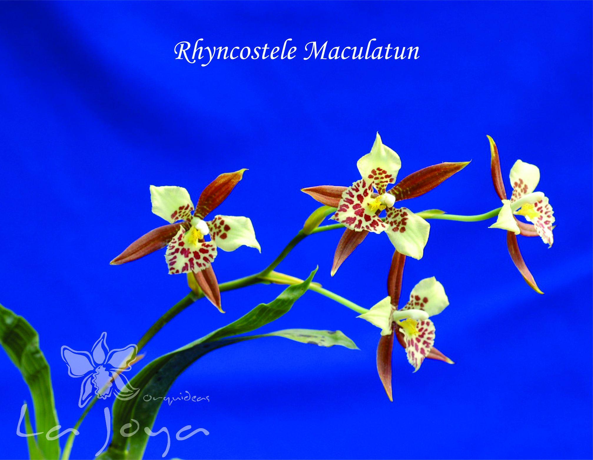 Rhyncostele Maculatum