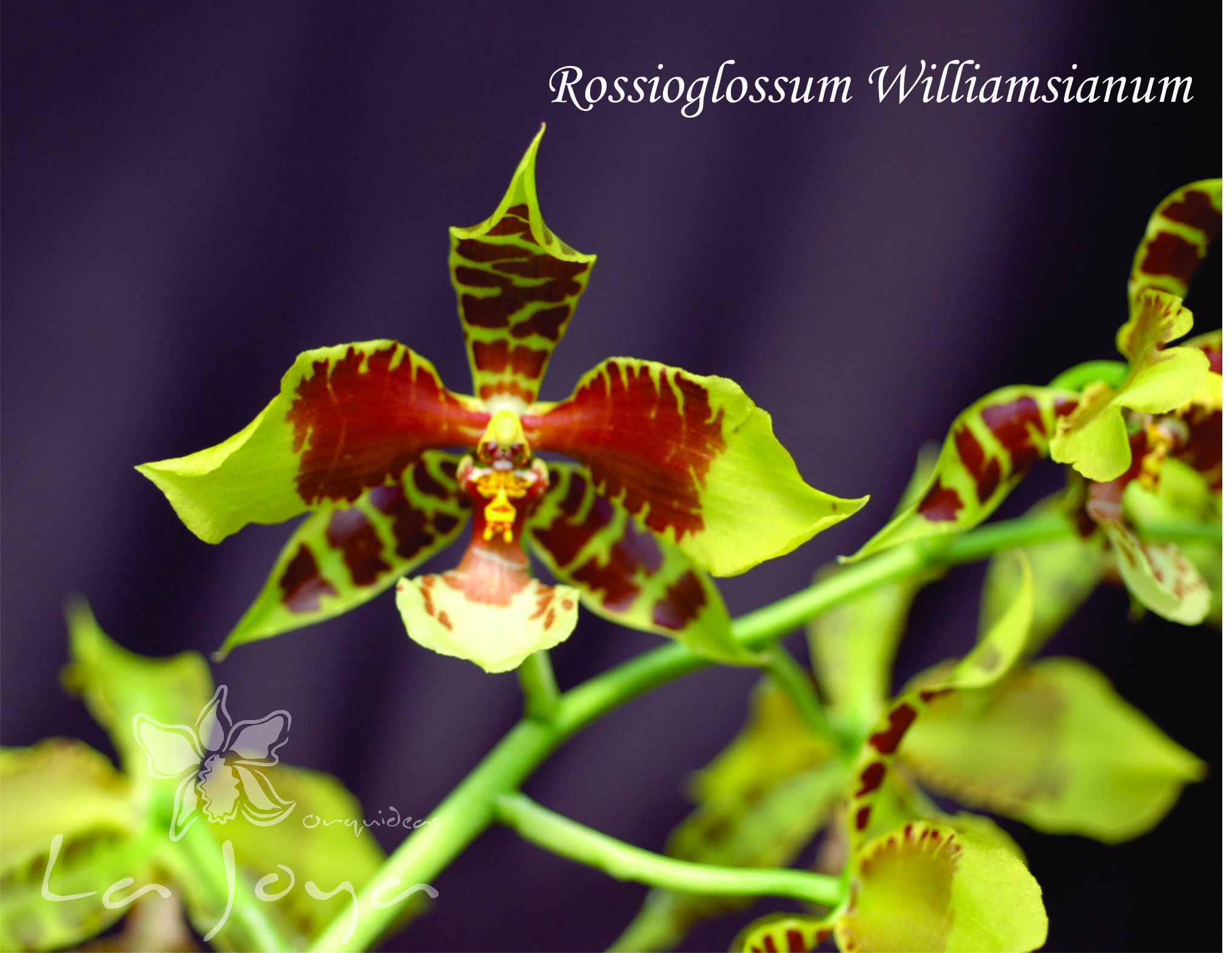 Rossiglossum Williamsianum