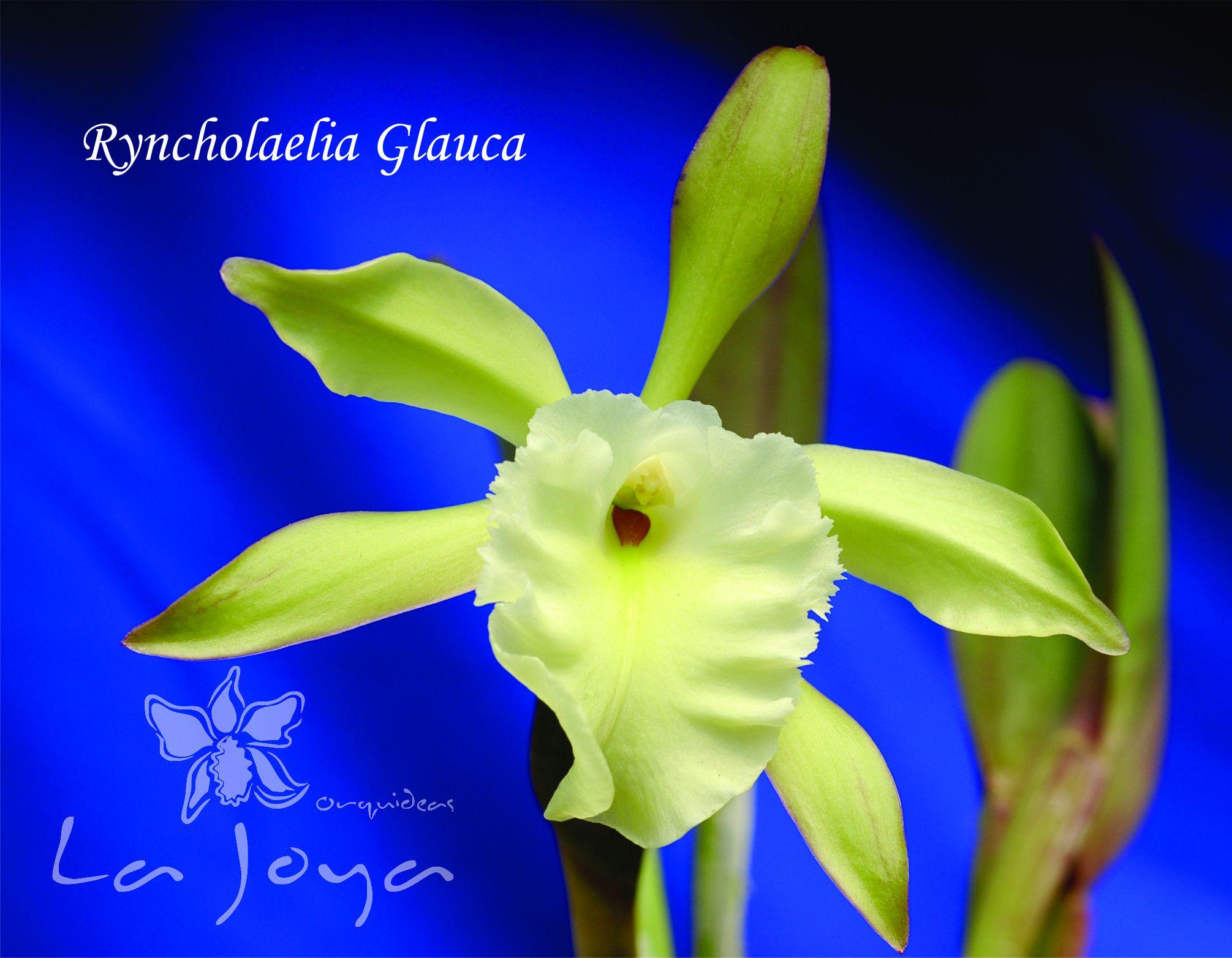 Ryncholaelia Glauca